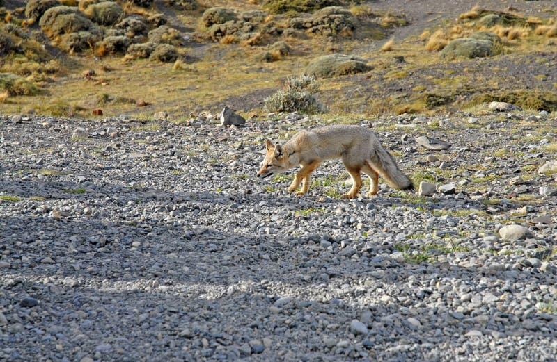 Fox en Torres Del Paine, Patagonia meridional, Chile imagen de archivo