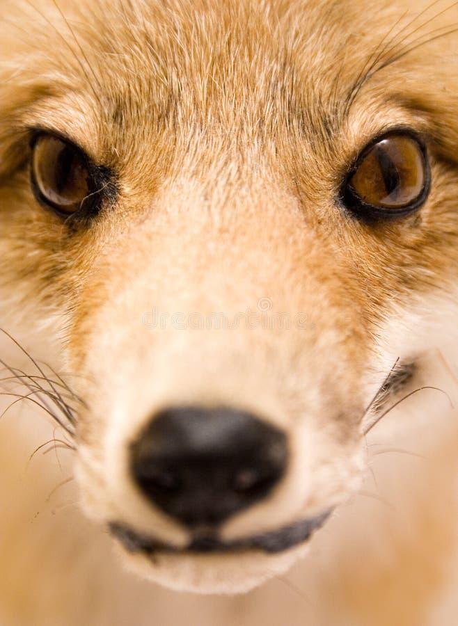 Fox enchido (vista próxima) foto de stock royalty free
