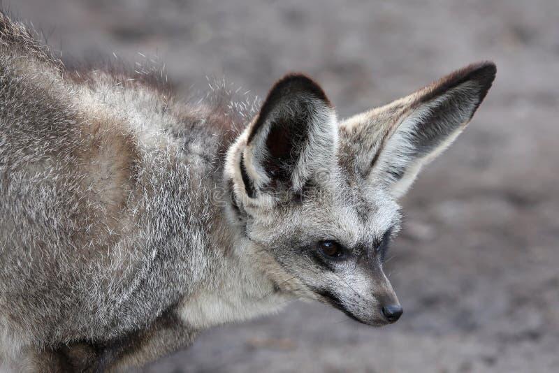 Fox espigado del palo fotografía de archivo libre de regalías