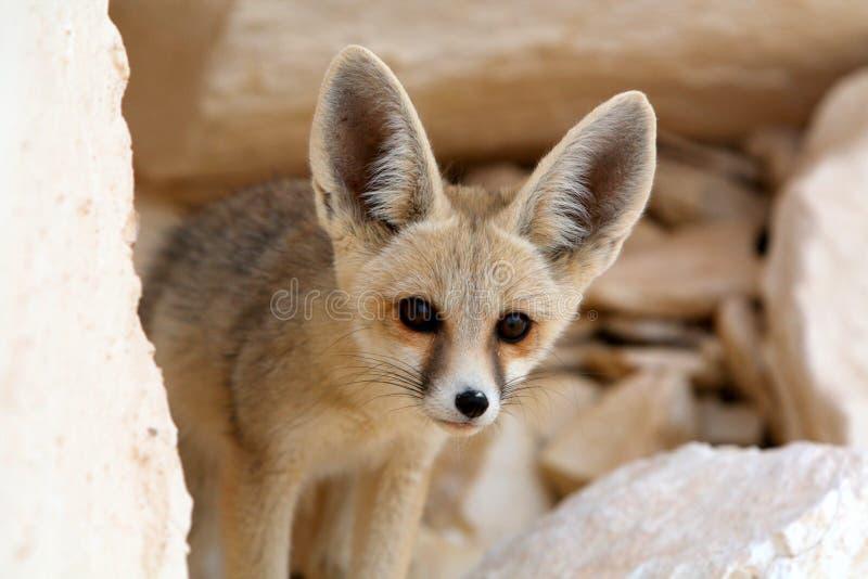 Fox Fennec в белой пустыне, Египете стоковая фотография