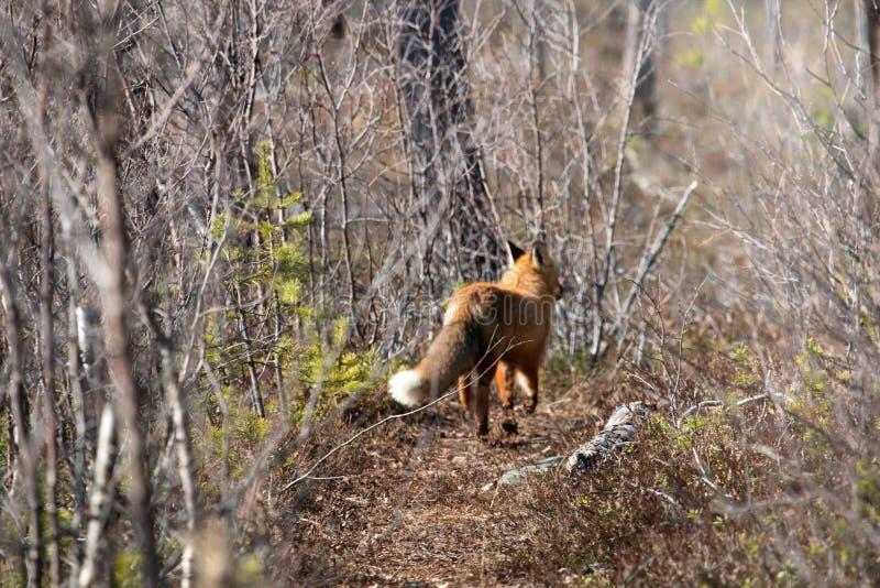 Fox foge do homem em uma antiga estrada de madeira fotografia de stock