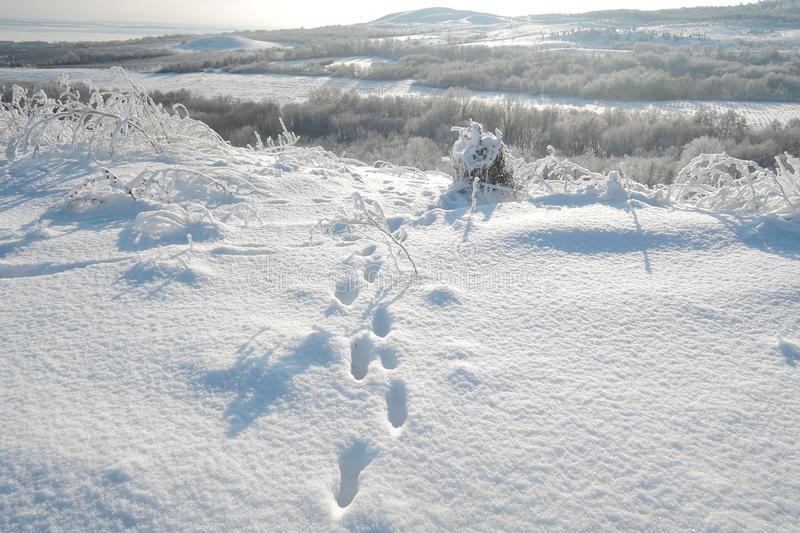 Fox foot animal tracks in the snow stock image