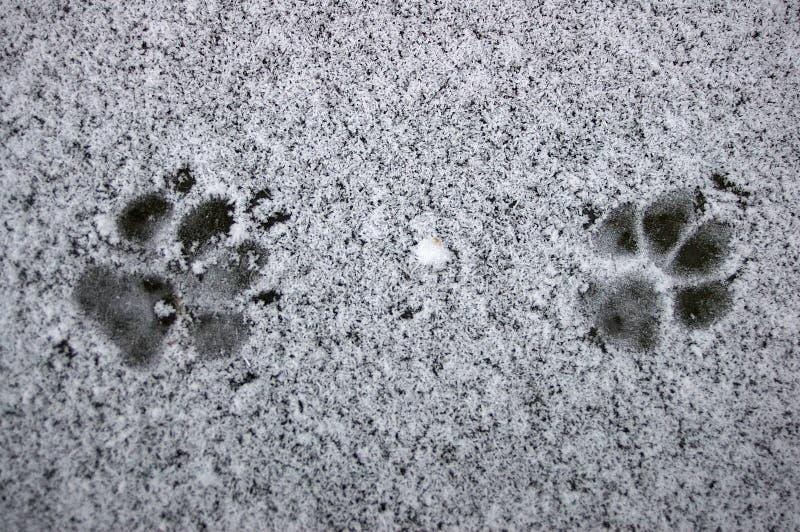 Fox footprint royalty free stock image