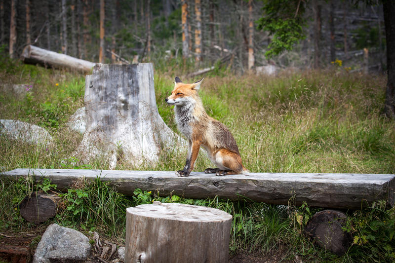 Fox in forest at High Tatras, Slovakia royalty free stock images