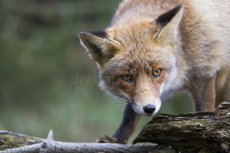 Fox in the forest in the netherlands royalty free stock image