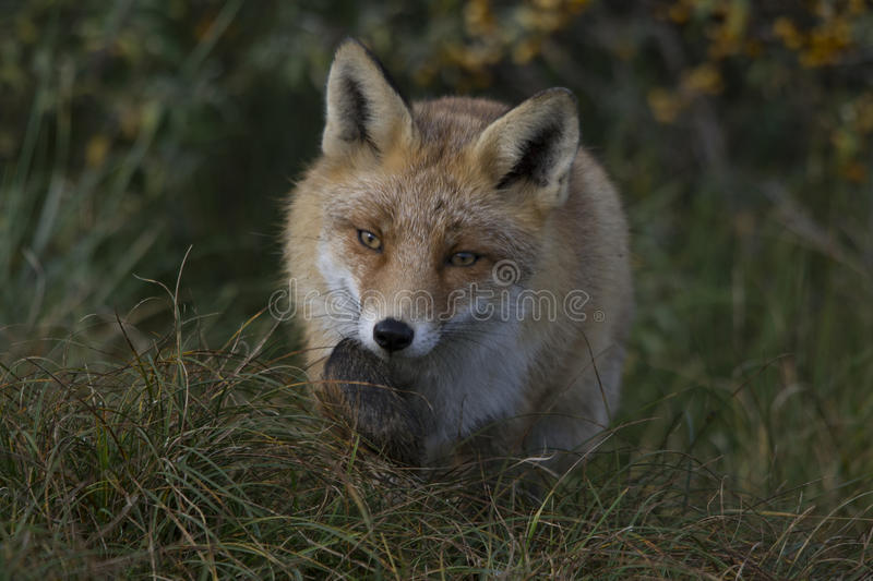 Fox in the forest in the netherlands stock photography