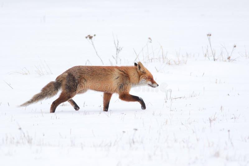 Fox-Gehen stockbild