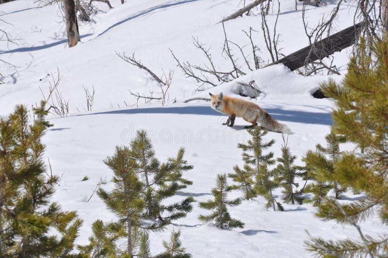 Fox gelido immagini stock