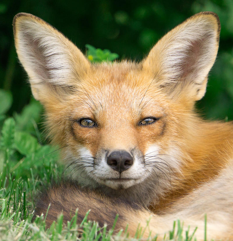 Fox-Gesicht lizenzfreie stockbilder