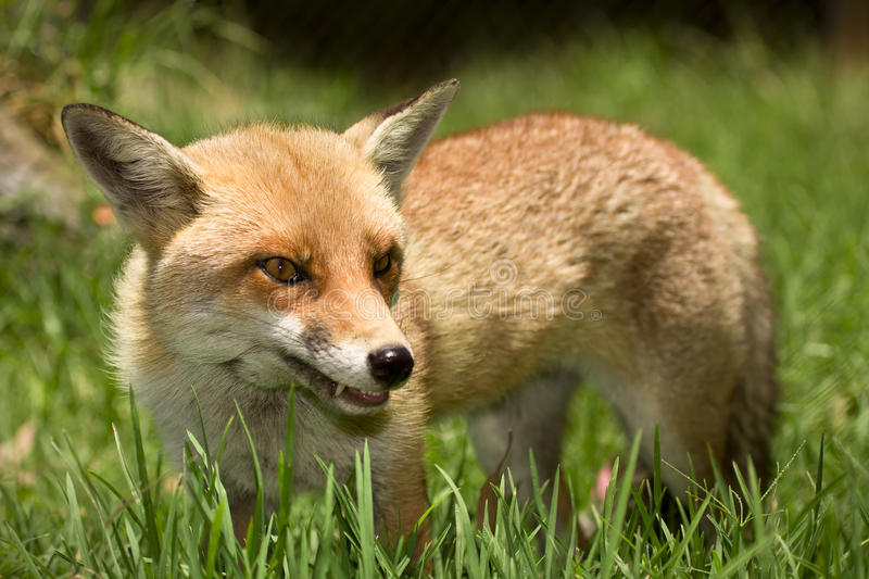 Fox in grass royalty free stock photography