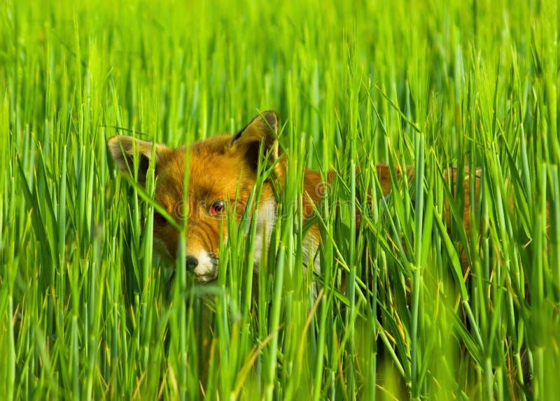 Download Fox hiding stock photo. Image of look, blades, invigilating - 3760858
