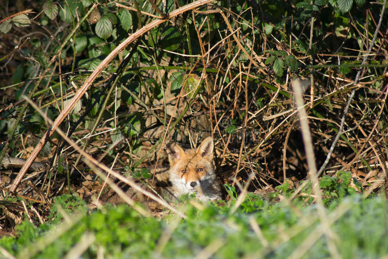 Fox Hiding in Urban area stock images