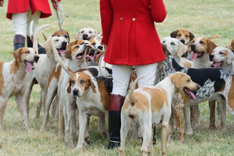 Fox-hounds avec des chasseurs à pied photos libres de droits