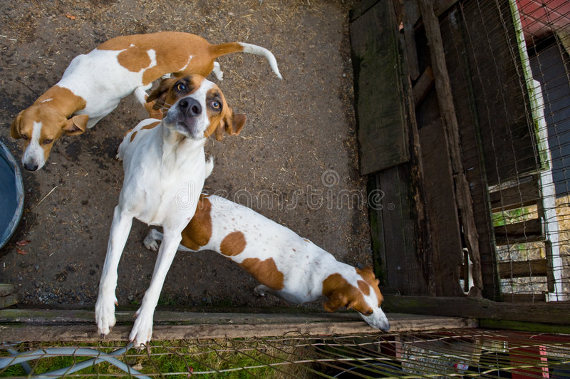 Fox hunting dogs in pen. A view of several brown and white fox hunting dogs in a kennel or pen royalty free stock photos