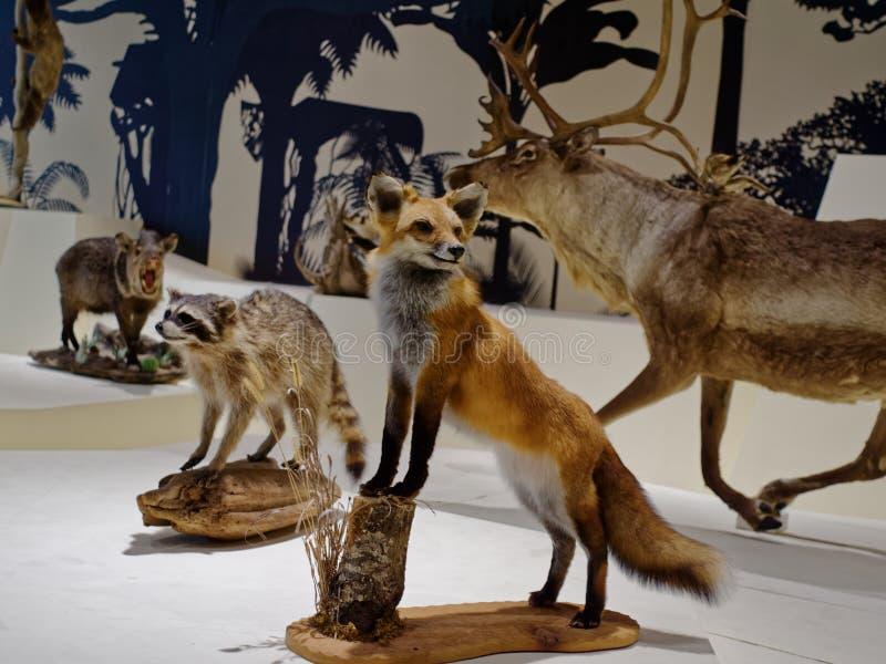 Fox i inni zwierzęta w natury muzeum zdjęcie stock