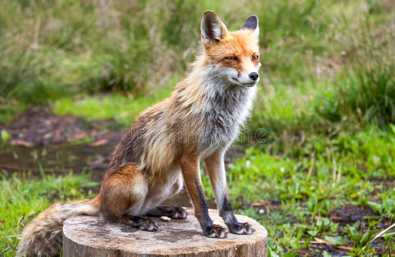 Fox im Wald bei hohem Tatras, Slowakei lizenzfreie stockbilder