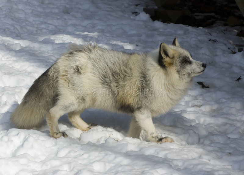 Fox im Winter stockfotos