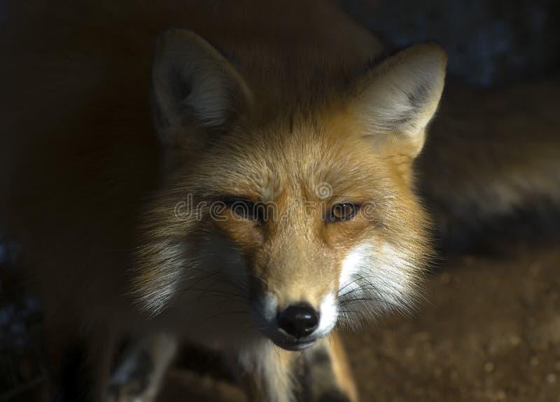 Fox im Winter lizenzfreie stockfotografie
