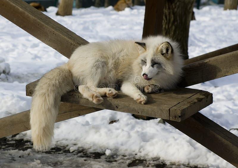 Fox im Winter lizenzfreies stockfoto