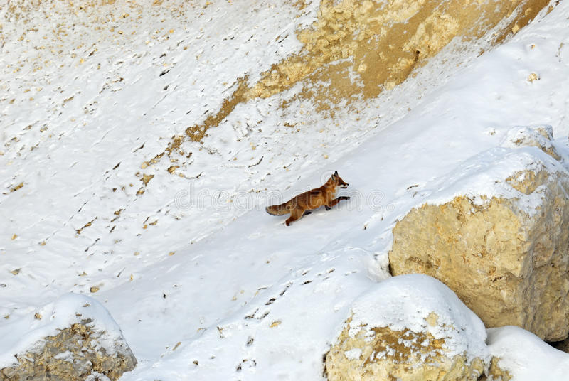 Fox. In its natural habitat in winter royalty free stock photography