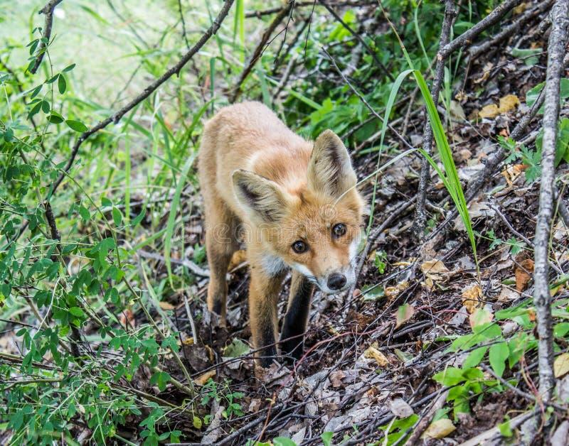 Fox joven que mira al hombre de la cámara imágenes de archivo libres de regalías