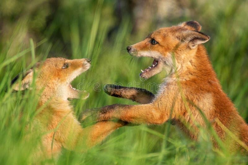 Fox-Junge Zwei junge rote Füchse, die im Gras spielen stockfotos