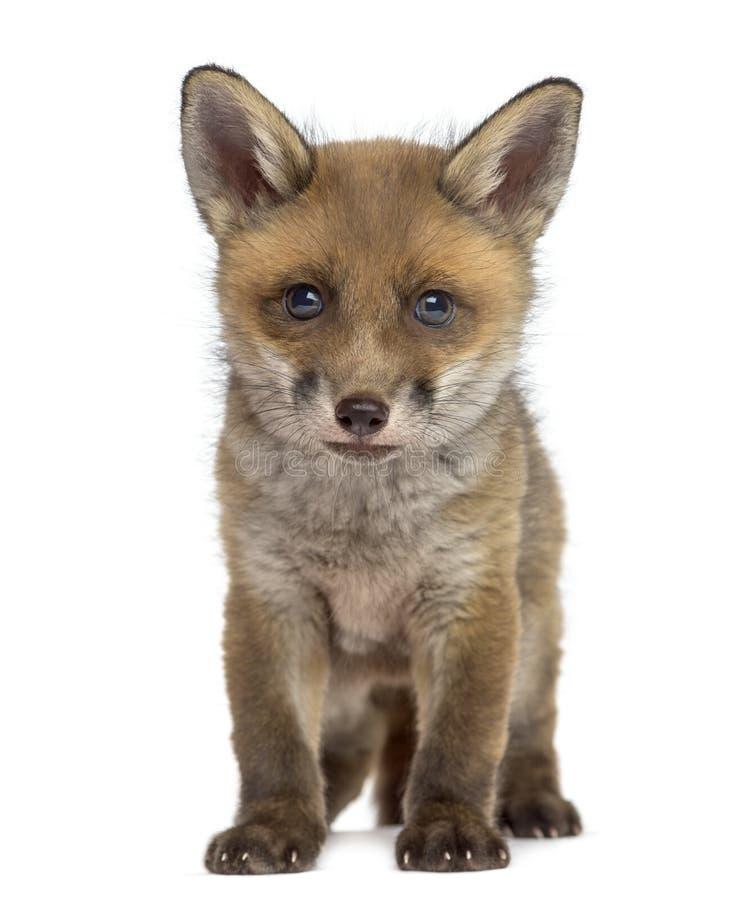 Fox-Junges (7 Wochen alt) lizenzfreie stockbilder
