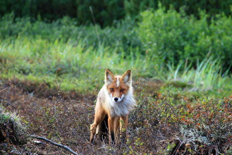 The Fox King stock photo