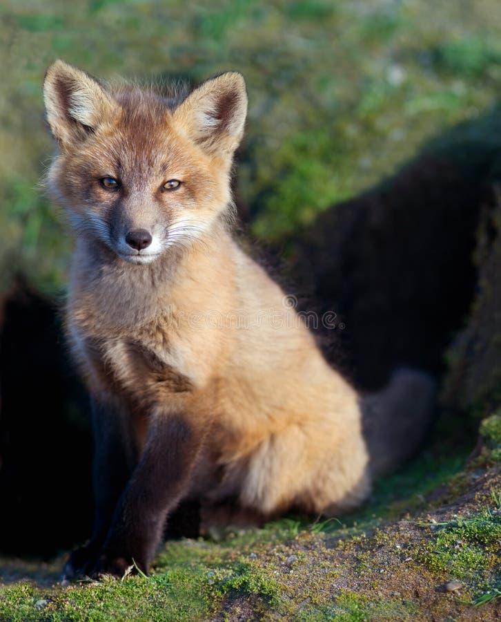 Fox Kit Sitting au repaire photos libres de droits