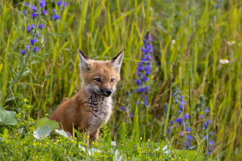 Fox kit & wild flowers. royalty free stock photography