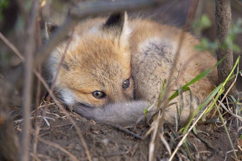 Fox Kits Near Den stock images