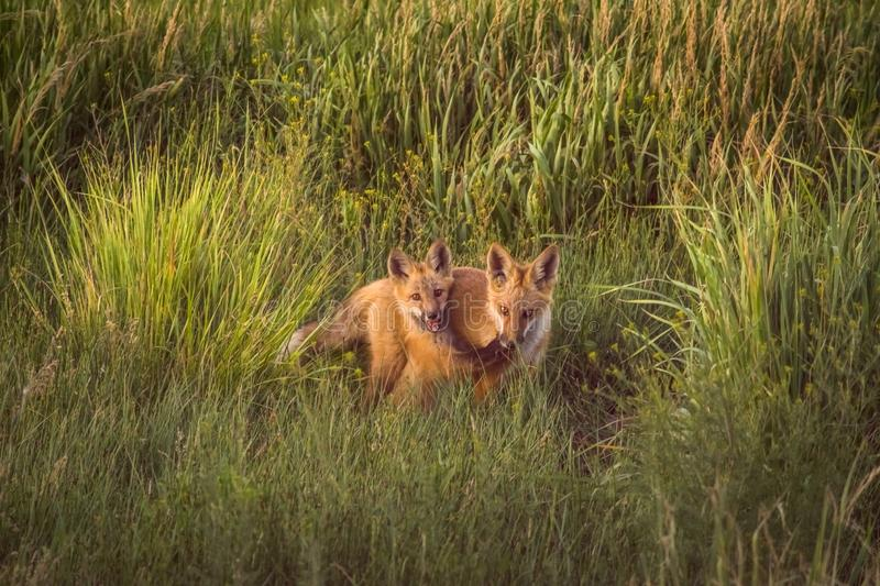 Fox Kits Playing In Late Afternoon Sunshine In Beautiful Green Meadow. Wildlife In Colorado royalty free stock images