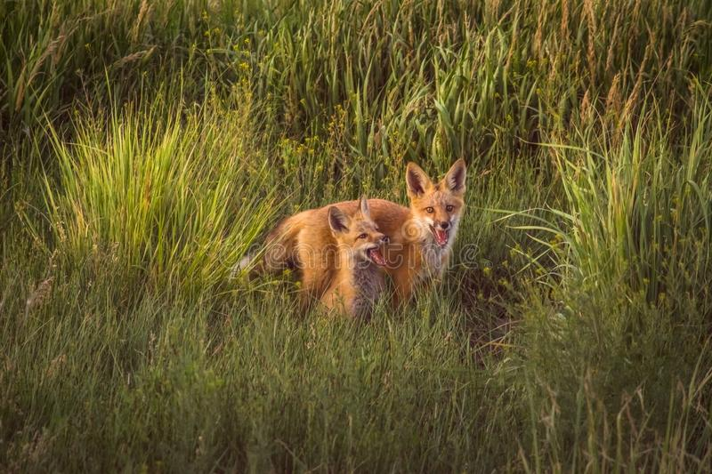 Fox Kits Playing In Late Afternoon Sunshine In Beautiful Green Meadow. Wildlife In Colorado royalty free stock image