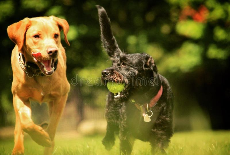 Fox Lab and Labradoodle stock photos