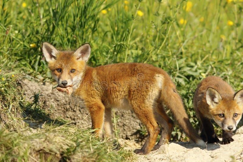 Fox lisiątka łasowania pokój mięso zdjęcie royalty free