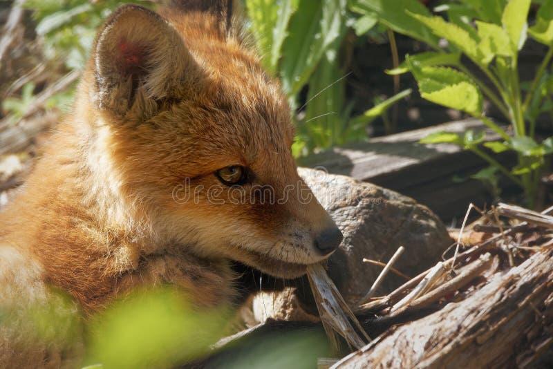 Fox lisiątka zbliżenie fotografia stock