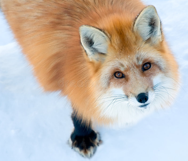 Download Fox Is Looking Up At The Camera Stock Image - Image: 8011579