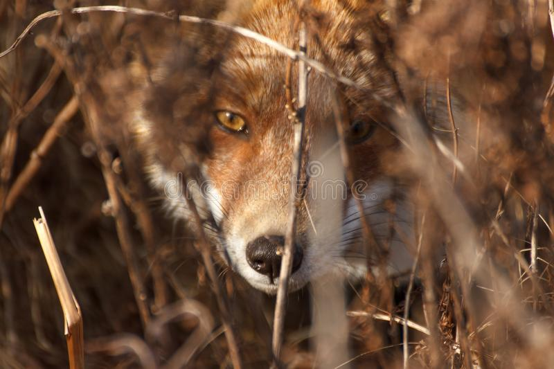 The fox looks into the lens from a thicket of dry autumn grass. Close up royalty free stock images