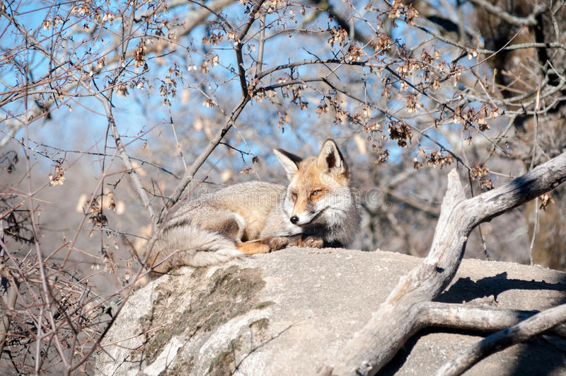 Fox lying on a rock resting under the hot sun - 4 stock image