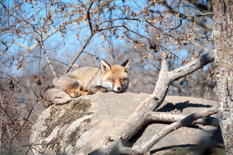 Fox lying on a rock resting under the hot sun - 6 royalty free stock images