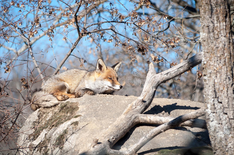 Fox lying on a rock resting under the hot sun - 7 stock photo