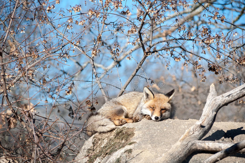 Fox lying on a rock resting under the hot sun - 10 stock photo