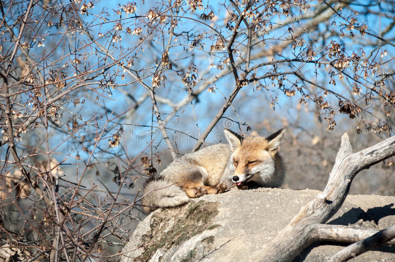 Fox lying on a rock resting under the hot sun - 11 stock photography