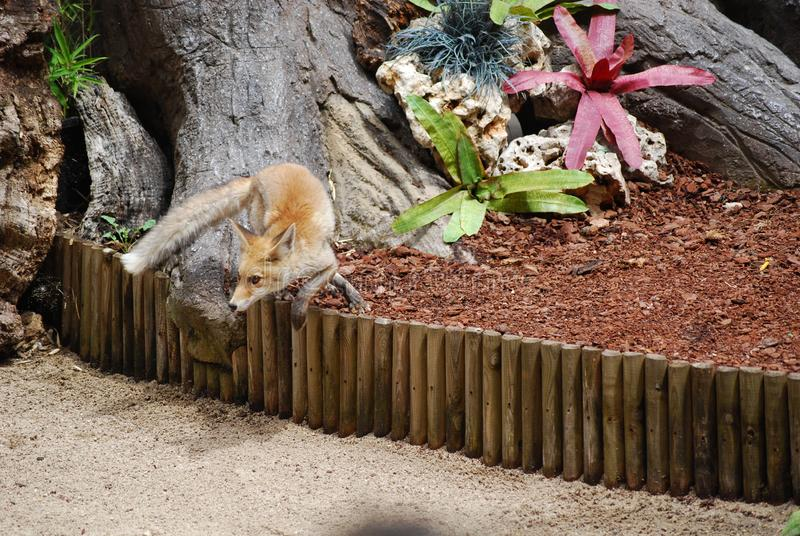 Fox making a turn. Jumping small fence, staring at a point. Brown color, long tail. Canidae family stock photo