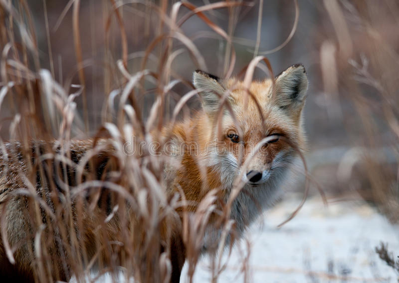 Fox manhoso fotos de stock royalty free