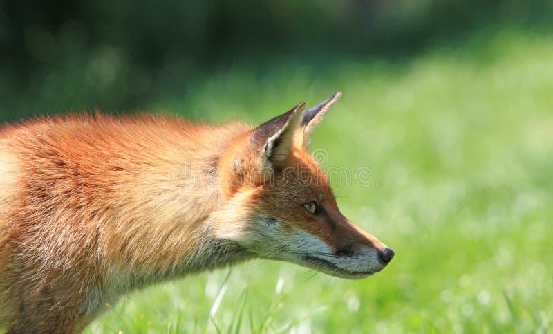 Fox manhoso fotografia de stock