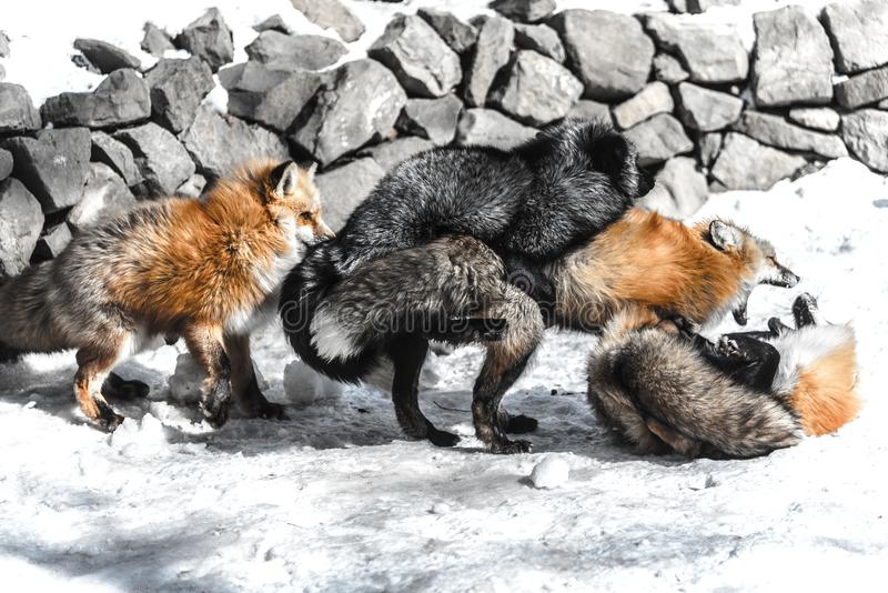 Fox mating in winter season. Red fox fight with another for mating in winter season among snow royalty free stock image