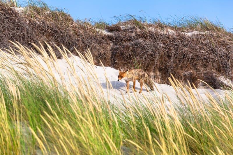 Fox na duna de areia imagem de stock