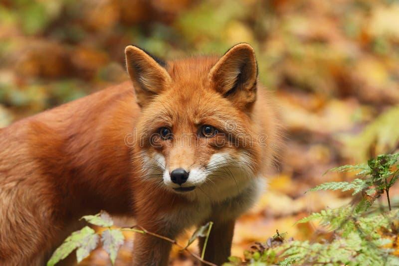 Fox na floresta do outono fotos de stock