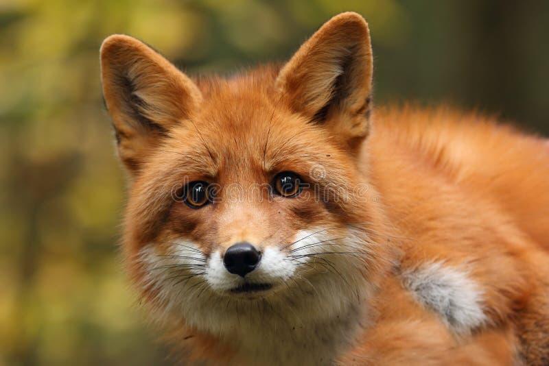 Fox na floresta do outono imagem de stock